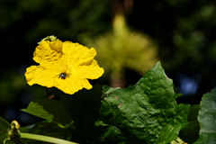 Flor de la lufa y una abeja Fotos de archivo libres de regalías