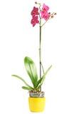 Flor de la magenta de la orquídea Imágenes de archivo libres de regalías