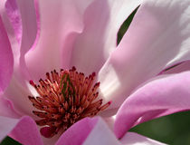 Flor de la magnolia Fotos de archivo libres de regalías