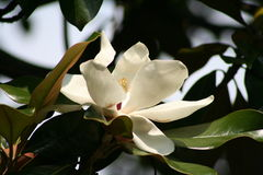 Flor de la magnolia Imágenes de archivo libres de regalías