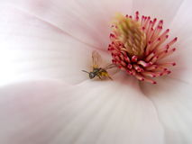 Flor de la magnolia con la abeja Fotos de archivo