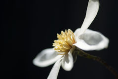 Flor de la magnolia contra fondo oscuro Imagen de archivo