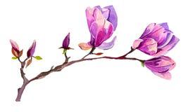 Flor de la magnolia de la acuarela Fotos de archivo libres de regalías
