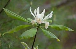 Flor de la magnolia de paraguas Fotografía de archivo