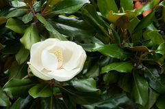 Flor de la magnolia en fondo verde Fotos de archivo libres de regalías