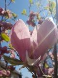 Flor de la magnolia en mis yardas Foto de archivo