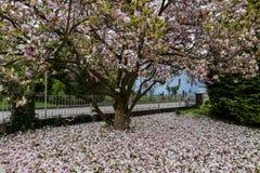 Flor de la magnolia en primavera Foto de archivo libre de regalías