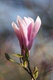 Flor de la magnolia, Worcestershire, Inglaterra Foto de archivo