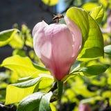 Flor de la magnolia y una abeja que recolecta la miel Fotografía de archivo