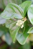 Flor de la mala hierba de cocodrilo Foto de archivo