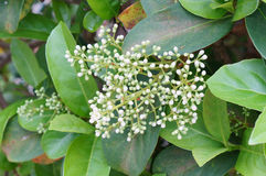 Flor de la mala hierba de cocodrilo Imágenes de archivo libres de regalías