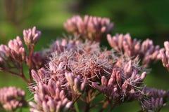 Flor de la mala hierba de Joe-pye Imagen de archivo