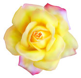 Flor de la malla de Rose Foto de archivo