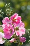 Flor de la malvarrosa Fotografía de archivo libre de regalías