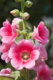 Flor de la malvarrosa Fotografía de archivo