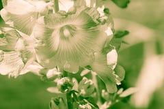 Flor de la malvarrosa Foto de archivo