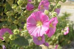 Flor de la malvarrosa Imagen de archivo libre de regalías