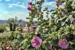 Flor de la malvarrosa Imagen de archivo