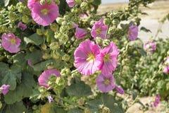 Flor de la malvarrosa Fotos de archivo