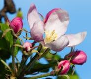 Flor de la manzana Foto de archivo