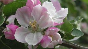 Flor de la manzana de Bramley - ascendente cercano metrajes