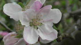 Flor de la manzana de Bramley - ascendente cercano almacen de metraje de vídeo