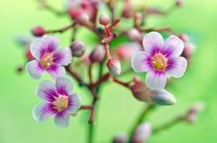 Flor de la manzana de estrella en el árbol Foto de archivo