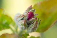 Flor de la manzana del brote Fotos de archivo libres de regalías