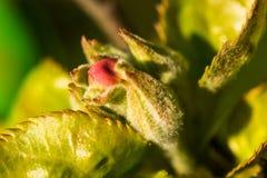 Flor de la manzana del brote Fotos de archivo