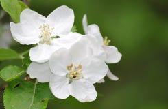 Flor de la manzana del resorte Fotos de archivo libres de regalías