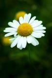 Flor de la manzanilla Fotografía de archivo
