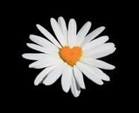 Flor de la manzanilla. Fotografía de archivo
