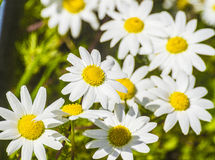 Flor de la manzanilla Imagenes de archivo