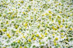 Flor de la manzanilla Imagen de archivo