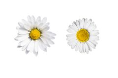 Flor de la manzanilla aislada Imágenes de archivo libres de regalías