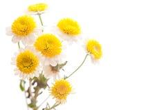 Flor de la manzanilla aislada en blanco Fotografía de archivo libre de regalías