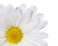 Flor de la manzanilla aislada en blanco. Margarita. Foto de archivo