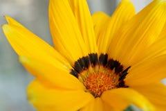 Flor de la manzanilla amarilla Foto de archivo libre de regalías