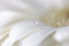 Flor de la manzanilla con descensos del agua Imagen de archivo libre de regalías