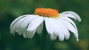 Flor de la manzanilla con descensos del agua en el fondo verde metrajes