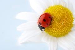 Flor de la manzanilla con el ladybug Imagen de archivo