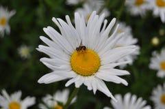 Flor de la manzanilla en el lado del país Imagen de archivo libre de regalías