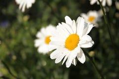Flor de la manzanilla en frente Imagen de archivo