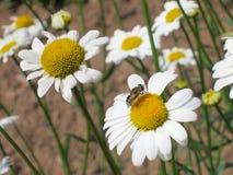Flor de la manzanilla - fondo de Daisy Floral Fotografía de archivo libre de regalías