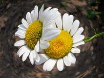 Flor de la manzanilla - fondo de Daisy Floral Foto de archivo libre de regalías