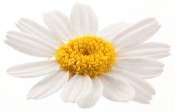 Flor de la manzanilla salvaje. Imagen de archivo libre de regalías