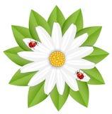 Flor de la manzanilla y de mariquitas Imagen de archivo libre de regalías