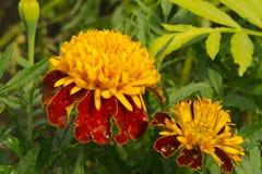 Flor de la maravilla Imagen de archivo libre de regalías