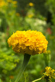 Flor de la maravilla imagen de archivo