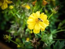 Flor de la maravilla Fotografía de archivo